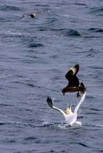 Great skua attacking a gannet